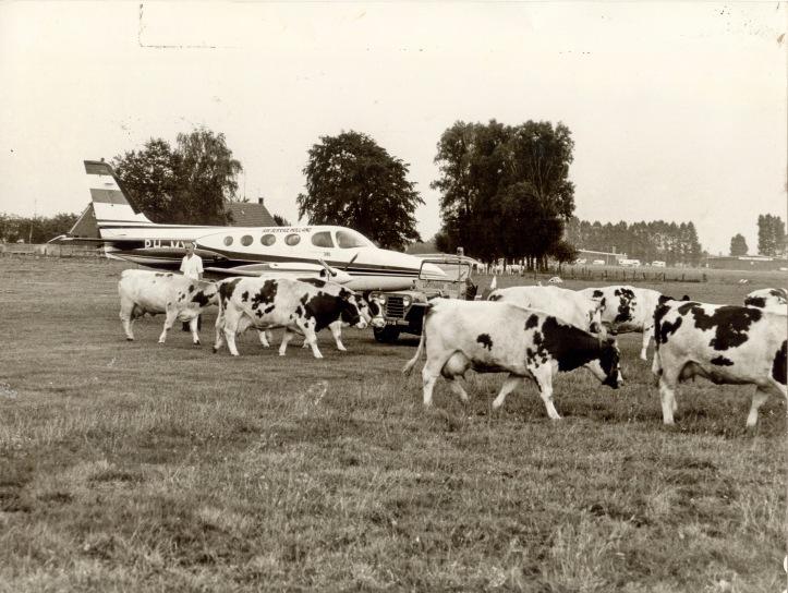 1975x Droogte koeien na sluiting op veld te eten (c) archief.jpg